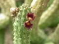 echidnopsis cereiformis brunnea es3023 02