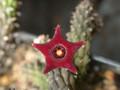 echidnopsis repens 01