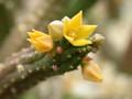echidnopsis ureiforme 01