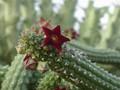 echidnopsis sharpei 02 aaa