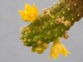 echidnopsis ureiforme 2213