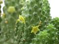 echidnopsis scutella es2002 2