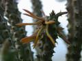 echidnopsis montana sheilam 02