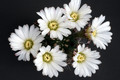 acanthocalycium spiniflorum macho cordoba 0080