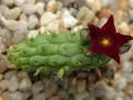 echidnopsis sharpei 01