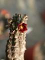echidnopsis dammaniana 01