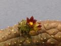 echidnopsis dammaniana 2212