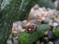 echidnopsis nubica 1