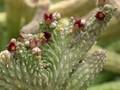 echidnopsis cereiformis brunnea es3023 01