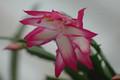 schlumbergera bristol rose 02