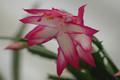 schlumbergera bristol rose 01
