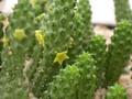 echidnopsis scutella es2002 1