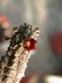 echidnopsis dammaniana 02