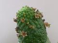 echidnopsis cactiforme 0089