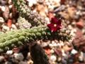 echidnopsis repens specks 1160 02
